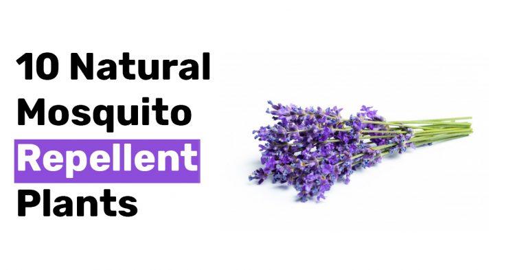 10 Natural Mosquito Repellent Plants